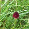 fleur de montagne