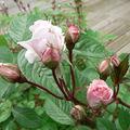 De la beauté des roses...
