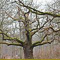 Sessile a 500 ans , Quercus petraea ( <b>Fagacées</b> )