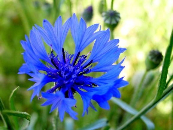 Fleur Comestible Bleu Acpimmo