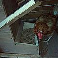 Une mangeoire pour poules autonomes