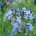 Amsonia orientalis 'blue ice'