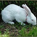 Le lapin blanc .