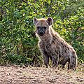<b>Hyène</b> tachetée