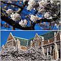 Cherry blossom Seattle 4
