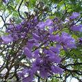 9080-Fleurs-Jacaranda