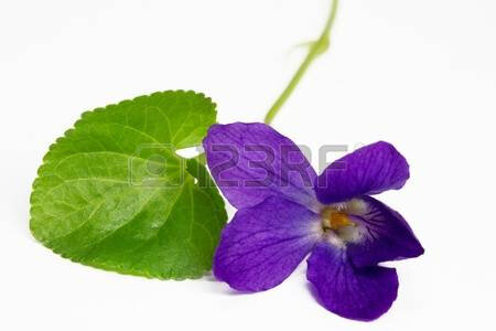 10500633-purple-violets-isolated-on-white-background