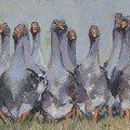 troupeau d'oies
