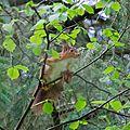 Ecureuil roux - Sciurus vulgaris (2)