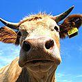 Le lait de vache entraîne: obésité, décalcification, arthrose,inflammations orl, activation des cancers