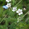 <b>Fleurs</b> diverses - Hautes <b>Alpes</b>
