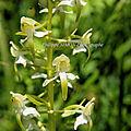 Orchidée des pyrénées...