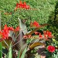 crocosmias lucifer