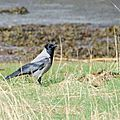 Hooded crow*