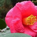 Les fleurs rouges du caméllia éclairent un coin du jardin