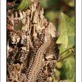 Reptiles lorrains