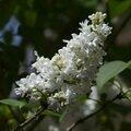 Lilas blanc 1