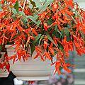 Begonia santa cruz® sunset