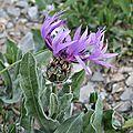 Centaurée de céüse
