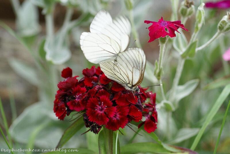 début juin papillon couple