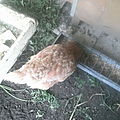 mes poules et pintades