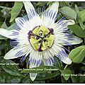 Fleur de la Passion (Passiflora)