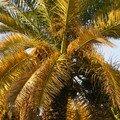 palmier dattier du Chili