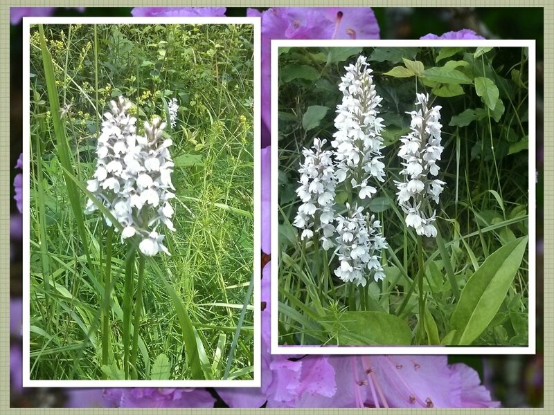orchidees chatel