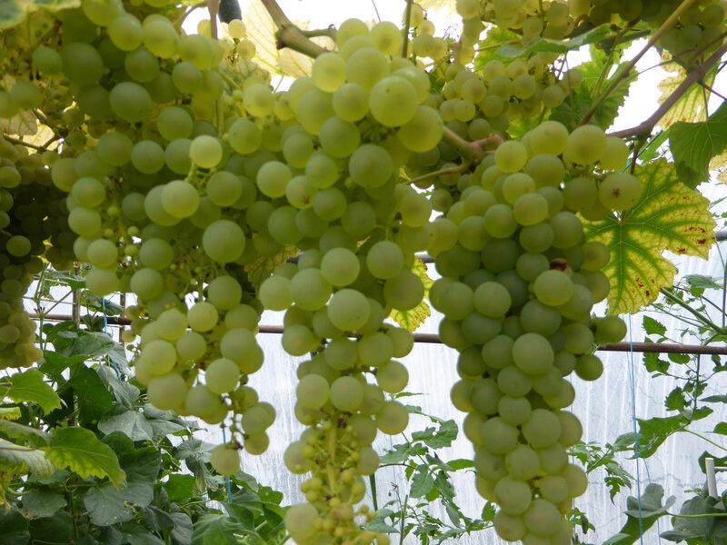 28-serre-tomates-raisins (29)
