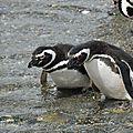 Pingouins de magellan Canal de Beagle