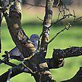 Tourterelle turque (Streptopelia decaocto)
