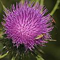 Insectes et chardons