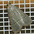 Pyralidae sp. 07