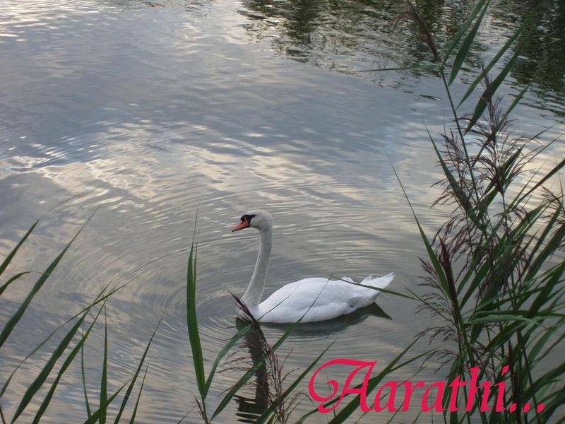 Solitary Swan, L'étang du Cora, ACHERES.