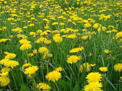 2008 05 13 Que de fleurs de pissenlit