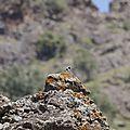 Lesbos oiseaux 19 - Traquet oreillard