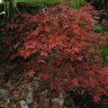 L'érable du japon en automne