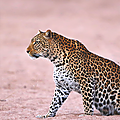 leopardmaleg2zo1_500