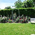 ♥ les rosiers du jardin ; le grand massif (2) ♥