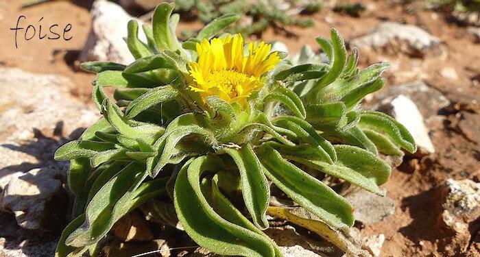 capitule de 5-15 mm entouré de plusieurs feuilles florales