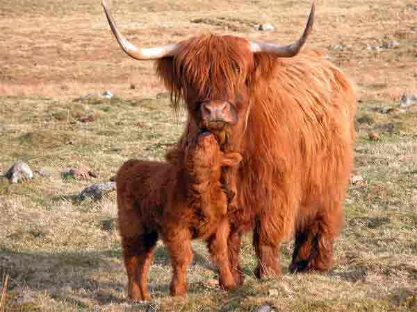 scotch_highland_cattle