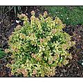 La plante du dimanche : <b>abelia</b> grandiflora