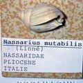 Nassarius mutabilis