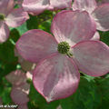 Cornus kousa sp. aux fleurs roses
