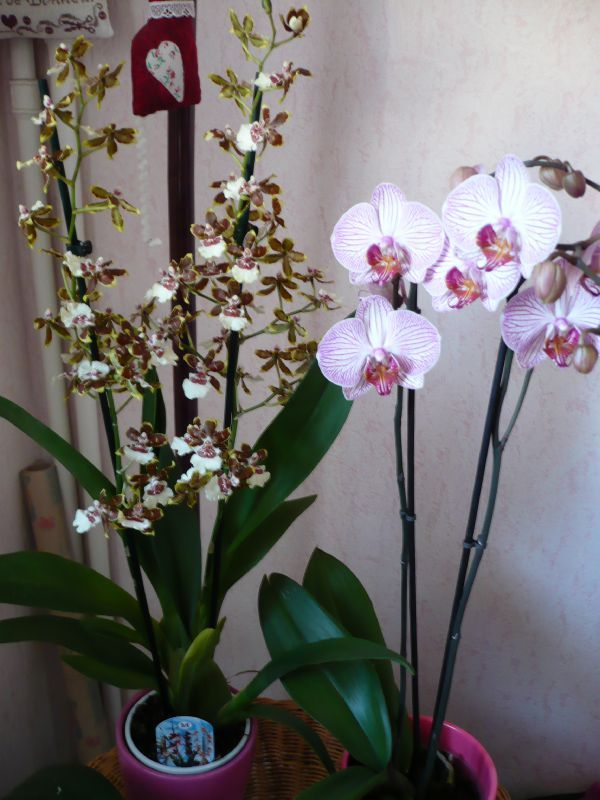 orchidee a petites fleurs