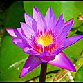 Sacred blue lotus
