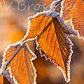 feuilles-givrées13-05
