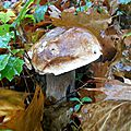Cèpe de Bordeaux adulte parmi les feuilles...