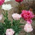 tulipes pivoines