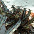 Euphorbia aeruginosa